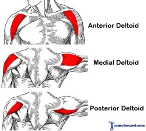 deltoids